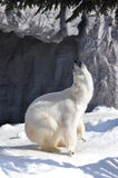 Polar bear. Dance on snow Stock Photography