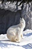 Polar bear. Dance on snow Stock Photography