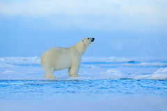 Polar bear, dangerous looking beast on the ice with snow in north Russia, nature habitat Royalty Free Stock Photography