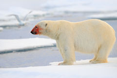 Polar Bear, Dangerous Looking Beast On The Ice With Snow, Red Blood In The Face In North Russia Royalty Free Stock Photo