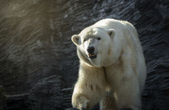 Polar bear, dangerous looking beast in the zoo. Polar bear in the zoo, rock behind him Royalty Free Stock Images