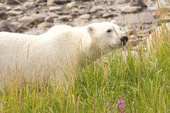 Polar Bear deep in the grass royalty free stock photos