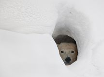 The polar bear in a den royalty free stock image