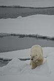 Polar bear descending ice floe in Arctic Royalty Free Stock Images