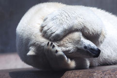 Polar bear in despair Stock Photography
