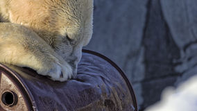 Polar bear destroying oil barrel Royalty Free Stock Photo