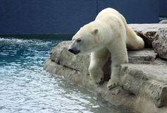 Polar Bear Dip. A Polar Bear getting ready for a swim to cool off on a hot day Royalty Free Stock Photo