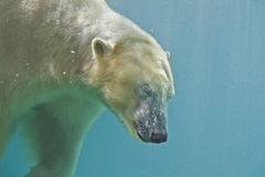 Polar bear diving Royalty Free Stock Images