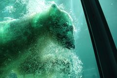 Polar bear diving in pool Royalty Free Stock Images