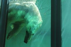 Polar bear diving in pool Stock Photography