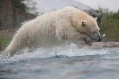 Polar bear diving into water Stock Photography
