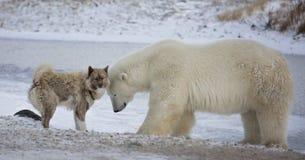Polar bear and dog. Unlikely pair of Polar Bear and Canadian Eskimo Dog. Churchill, Manitoba, Canada stock photo