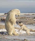 Polar Bear and dog Royalty Free Stock Photography