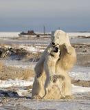 Polar Bear and dog Stock Photos