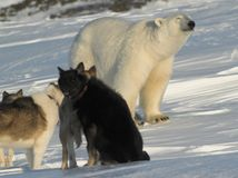 Polar bear and dogs Stock Photo