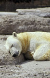 Polar bear dreams. Sleeping Polar Bear on a rock Royalty Free Stock Photography