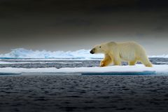 Polar bear on drift ice edge with snow and water in Norway sea. White animal in the nature habitat, Europe. Wildlife scene from. Nature. Dangerous bear walking royalty free stock image