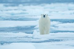 Polar bear on drift ice edge with snow and water in Russian sea. White animal in the nature habitat, Europe. Wildlife scene from n. Ature. Dangerous bear walking stock images