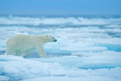 Polar bear on drift ice edge with snow and water in Russian sea. White animal in the nature habitat, Europe. Wildlife scene from. Nature. Dangerous bear walking royalty free stock photography