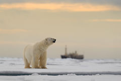 Polar bear on the drift ice with snow, blurred cruise chip in background, Svalbard, Norway Royalty Free Stock Photos