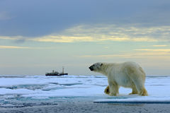 Polar bear on the drift ice with snow, blurred cruise vessel in background, Svalbard, Norway.  Stock Photo