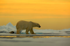 Polar bear on the drift ice with snow, with evening yellow sun, Svalbard, Norway Stock Images