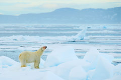 Polar bear on drift ice with snow, white animal in the nature habitat, Svalbard, Norway. Running polar bear in the cold sea. Polar royalty free stock photo