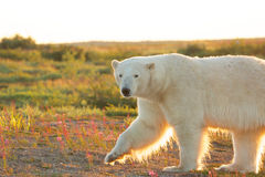 Polar Bear at dusk 1. Canadian Polar Bear walking in the colorful arctic tundra of the Hudson Bay near Churchill, Manitoba in summer with the evening sun shining Royalty Free Stock Images