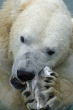 Polar Bear Eating Royalty Free Stock Photo