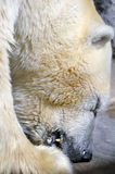 Polar Bear Eating Royalty Free Stock Photos