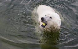 Polar Bear Eating an apple Stock Photos
