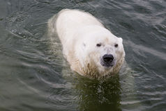 Polar Bear Eating an apple Royalty Free Stock Photos