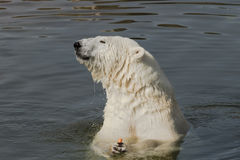 Polar bear eating carrot Stock Images