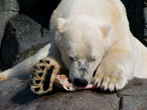 Polar bear eating a piece of horse leg Royalty Free Stock Photography