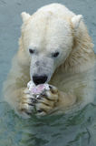 Polar Bear eating in Water Stock Photography