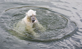 Polar Bear Eating Royalty Free Stock Images