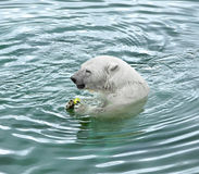 Polar bear eats apple Royalty Free Stock Image