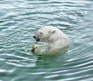 Polar bear eats apple Royalty Free Stock Image