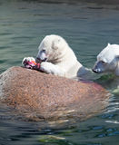 Polar bear eats meat Royalty Free Stock Images