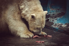 The polar bear eats meat and his face in blood, stock images