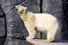 Polar bear on the edge of a rock Stock Image