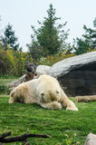Polar Bear Embarrassed. A polar bear hides her face behind her paw royalty free stock photo