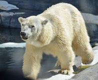 Polar Bear. At the exhibit at San Diego's Sea World royalty free stock images