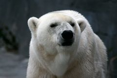 Polar Bear Face. A polar bear closeup royalty free stock photo