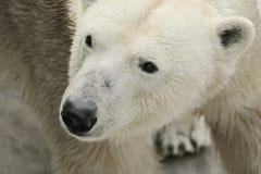 Polar bear. Face wild bear. Polar bear as special animal. Danger predator Stock Photo