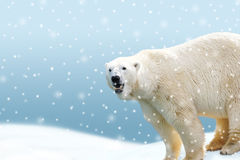 Polar bear with falling snow decor Stock Photos