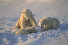 Polar bear family Royalty Free Stock Images