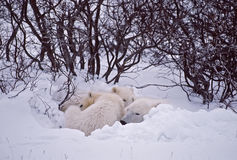 Polar bear family. Sleeping in a day bed dug in a snow bank. Canadian Arctic stock photo