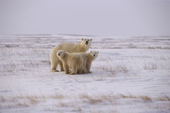Polar bear family. On the Arctic tundra Stock Photo