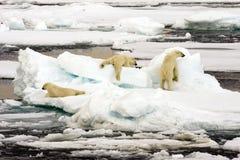 Polar bear family. In packice of spitsbergen stock photos